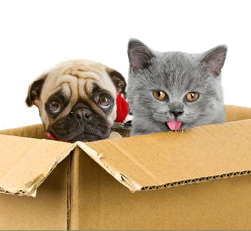 moving-cat-pug-in-box