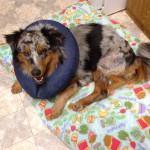 Rudy healing after 9-20-12 surgery
