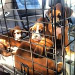 quartet-Pups-Car