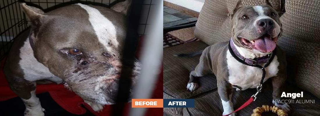 Before and after photo of dog rescued by PACC911 coalition