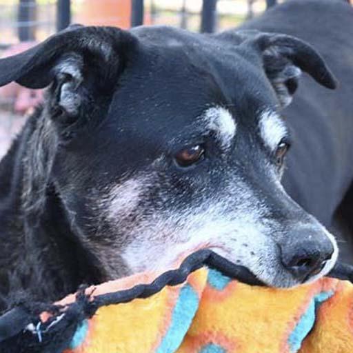 senior dog holding orange toy