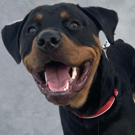 happy rottweiler portrait