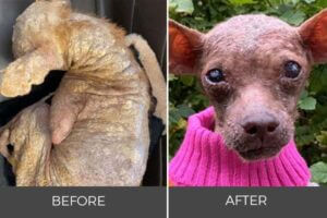 bald abused chihuahua in pink sweater