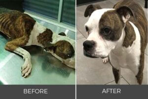 malnourished pit bull terrier gains weight