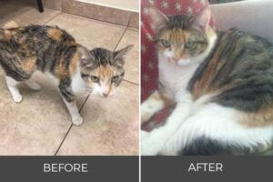 skinny calico cat to healthy weight