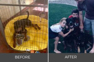 Rottweiler leroy sitting in cage joins family