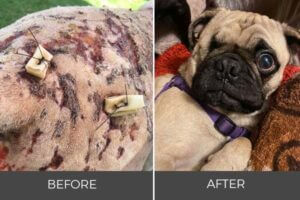 abused animal with stitches adopted