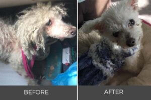 spicy poodle adoption before after