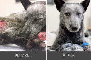 injured gray dog to healthy rescue