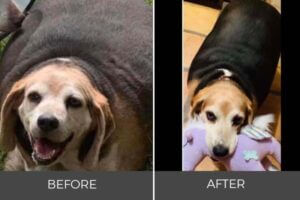 wolfgang beagle before and after