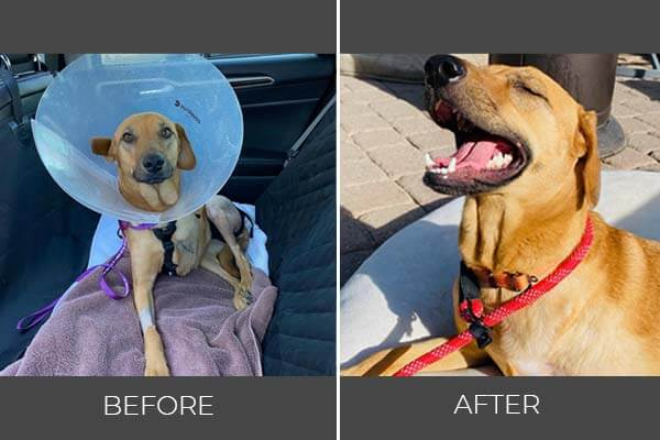 Rescued dog Ginger before and after photo