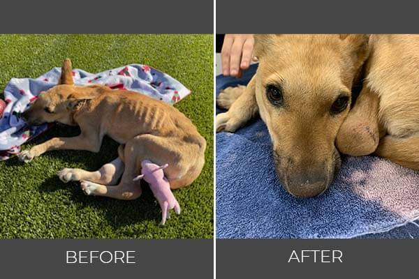Rescued dog Melody before and after photo